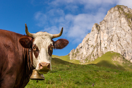 COW 01 KH0028 01 © Kimball Stock Abondance Cow Standing In Alpine Meadow In French Alps