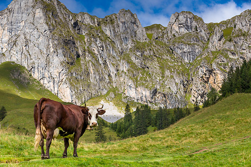 COW 01 KH0029 01 © Kimball Stock Abondance Cow Standing In Alpine Meadow In French Alps