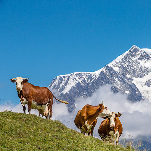 COW 01 KH0034 01 © Kimball Stock Abondance Cows Standing In Alpine Meadow In Mont Blonc Range In French Alps