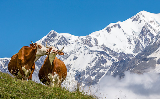 COW 01 KH0035 01 © Kimball Stock Abondance Cows Licking In Alpine Meadow In Mont Blonc Range In French Alps
