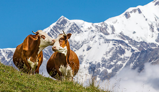 COW 01 KH0036 01 © Kimball Stock Abondance Cows Licking In Alpine Meadow In Mont Blonc Range In French Alps