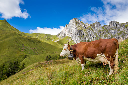 COW 01 KH0037 01 © Kimball Stock Abondance Cow Standing In Alpine Meadow In Mont Blonc Range In French Alps