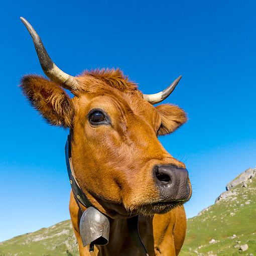 COW 01 KH0038 01 © Kimball Stock Tarentaise Cow With Bell Standing In Alpine Meadow In French Alps