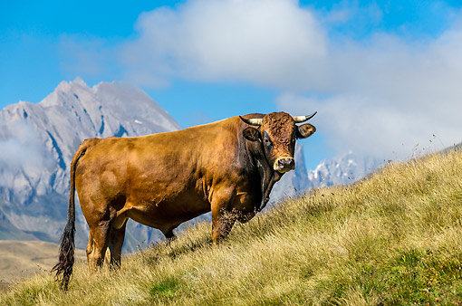 COW 01 KH0040 01 © Kimball Stock Tarentaise Bull Standing In Alpine Meadow In French Alps
