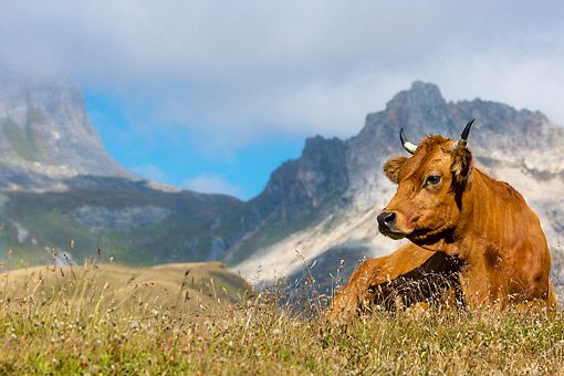 COW 01 KH0044 01 © Kimball Stock Tarentaise Cow Laying In Alpine Meadow In French Alps