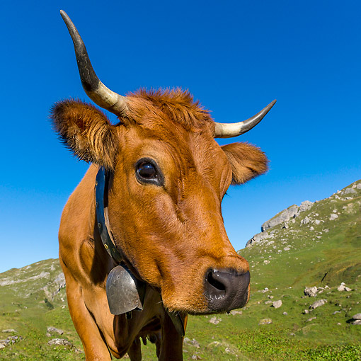 COW 01 KH0046 01 © Kimball Stock Tarentaise Cow Standing In Alpine Meadow In French Alps