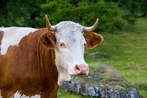 COW 01 KH0047 01 © Kimball Stock Simmental Cow Standing In Alpine Meadow In Austria