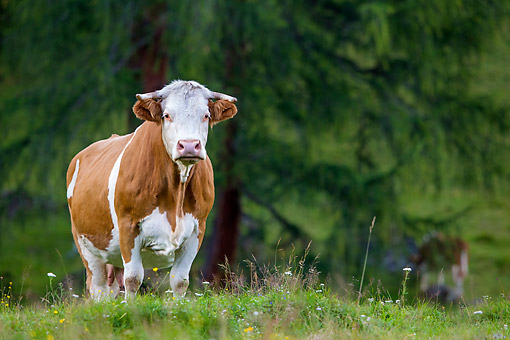 COW 01 KH0048 01 © Kimball Stock Simmental Cow Standing In Alpine Meadow In Austria