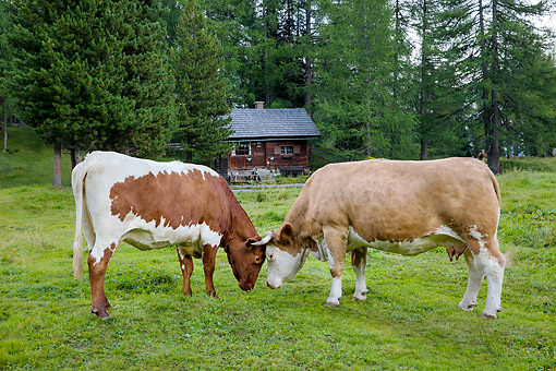 COW 01 KH0049 01 © Kimball Stock Simmental And Pinzgauer Cows Play Fighting In Alpine Meadow In Austria
