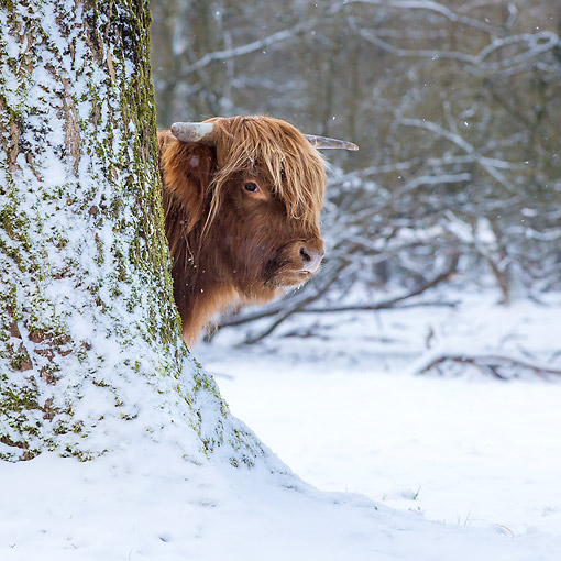 COW 01 KH0052 01 © Kimball Stock Highland Cattle Standing Behind Tree In Snow