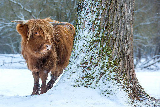 COW 01 KH0053 01 © Kimball Stock Highland Cattle Standing Behind Tree In Snow