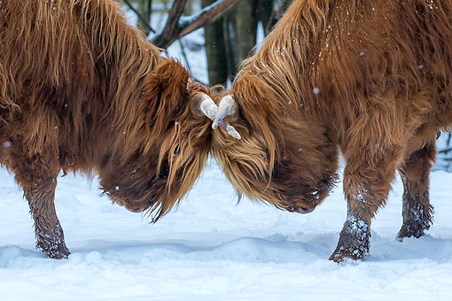 COW 01 KH0054 01 © Kimball Stock Highland Cattle Playing In Snow