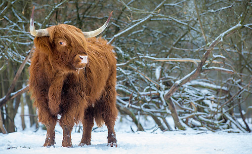 COW 01 KH0055 01 © Kimball Stock Highland Cattle Bull Standing In Snow