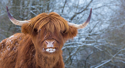 COW 01 KH0056 01 © Kimball Stock Highland Cattle Bull Portait In Snow