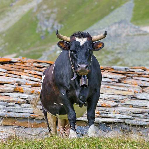 COW 01 KH0062 01 © Kimball Stock Valdostana Pezzata Nera Cows Standing In Alpine Meadow In Italy