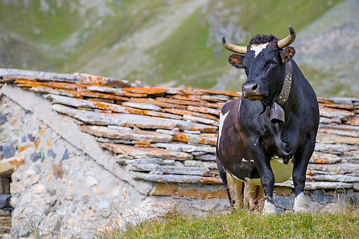 COW 01 KH0063 01 © Kimball Stock Valdostana Pezzata Nera Cows Standing In Alpine Meadow In Italy