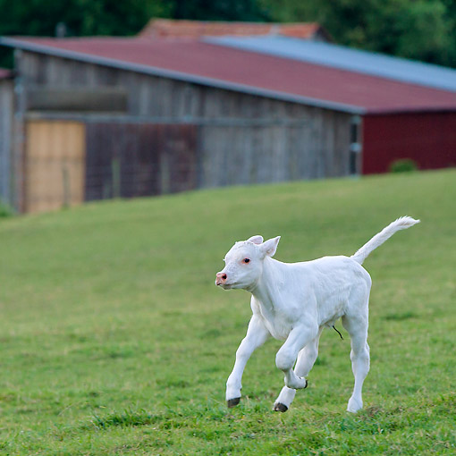 COW 01 KH0067 01 © Kimball Stock Charolais Calf Running In Pasture In France