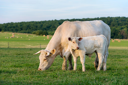 COW 01 KH0070 01 © Kimball Stock Charolais Cow And Calf Standing In Pasture