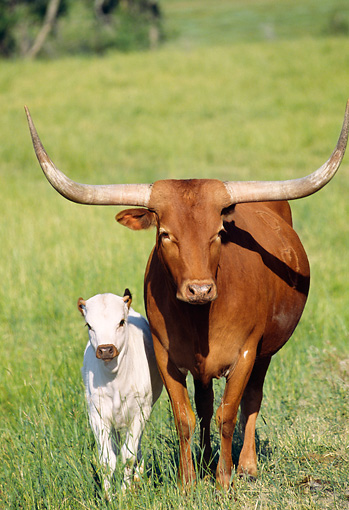 COW 01 DS0004 01 © Kimball Stock Texas Longhorn Cow And Calf Standing In Field
