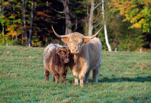 COW 01 LS0001 01 © Kimball Stock Highland Cattle Cow And Calf Standing On Grass By Trees