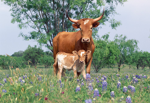 COW 01 LS0004 01 © Kimball Stock Texas Longhorn Cow And Calf Standing In Field Of Purple Flowers By Trees