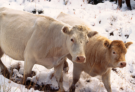 COW 01 RK0007 01 © Kimball Stock Two Cows Walking Together On Snow
