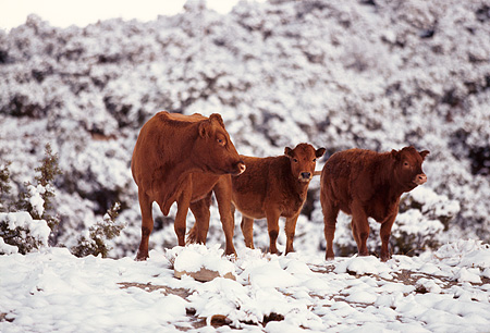 COW 01 RK0016 05 © Kimball Stock Three Cows Standing Together Snow Covered Trees Background