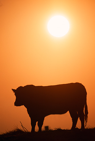 COW 01 RK0019 08 © Kimball Stock Profile Silhouette Shot Of Cattle Standing At Sunset Orange Sky