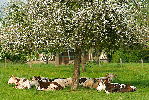 COW 02 JE0006 01 © Kimball Stock Normandy Cows Resting Under Tree In Pasture