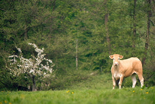 COW 02 JE0007 01 © Kimball Stock Normandy Cow Standing In Pasture