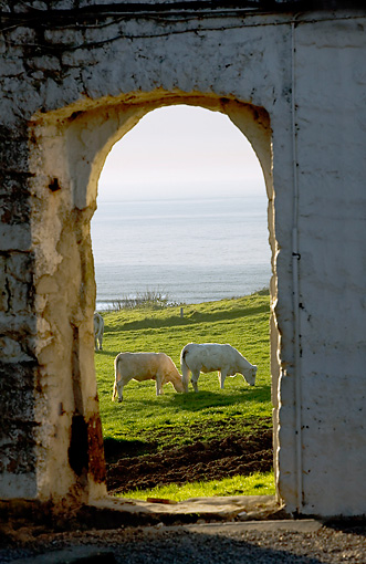 COW 02 JE0009 01 © Kimball Stock Charolais Cows Grazing In Pasture By Sea Through Arch