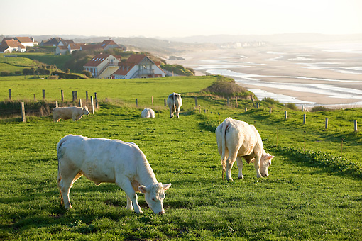 COW 02 JE0010 01 © Kimball Stock Charolais Cows Grazing In Pasture By Sea
