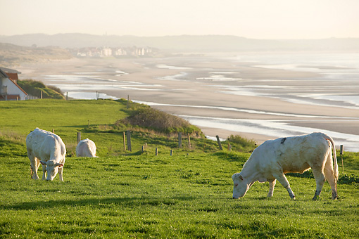 COW 02 JE0011 01 © Kimball Stock Charolais Cows Grazing In Pasture By Sea