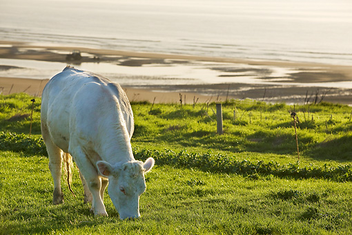 COW 02 JE0012 01 © Kimball Stock Charolais Cow Grazing In Pasture By Sea