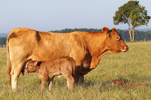 COW 02 JE0017 01 © Kimball Stock Limousine Cow And Calf Standing In Pasture Chateauroux, France
