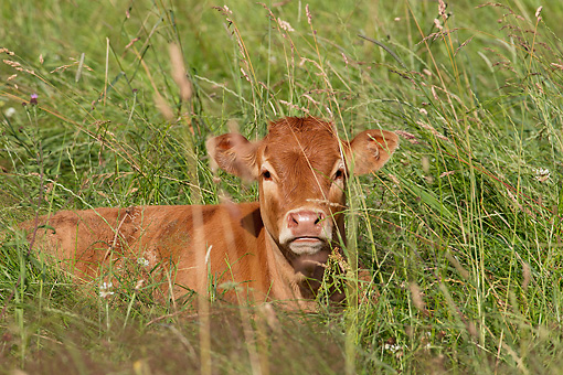 COW 02 JE0022 01 © Kimball Stock Limousine Calf Resting In Tall Grass