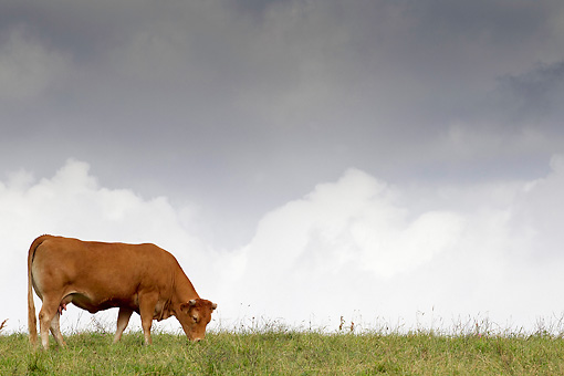 COW 02 JE0025 01 © Kimball Stock Limousine Cow Grazing In Pasture With Stormy Sky