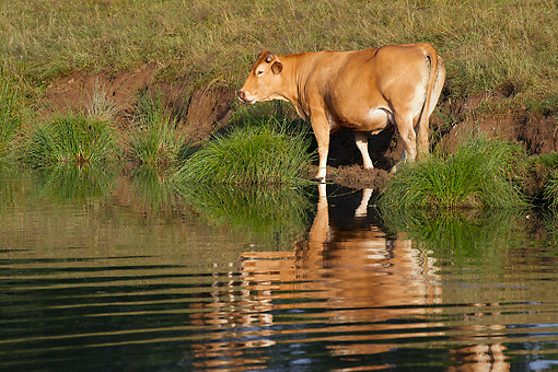 COW 02 JE0031 01 © Kimball Stock Limousine Cow Standing At Edge Of Stream
