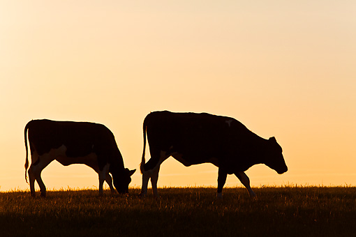 COW 02 KH0054 01 © Kimball Stock Two Holstein Cows Walking In Pasture At Sunset