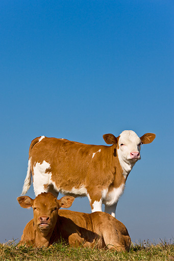 COW 02 KH0057 01 © Kimball Stock Simmental Calves Standing And Laying In Pasture