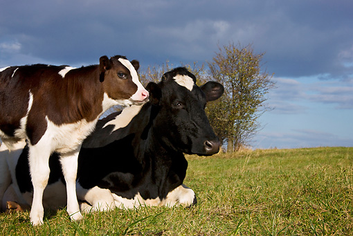 COW 02 KH0067 01 © Kimball Stock Close-Up Of Holstein Cow And Calf In Pasture