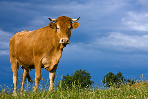COW 02 KH0079 01 © Kimball Stock Limousine Cow Standing In Meadow