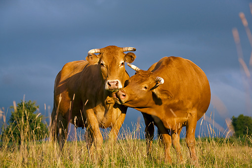 COW 02 KH0084 01 © Kimball Stock Limousine Cows Standing In Meadow Grooming