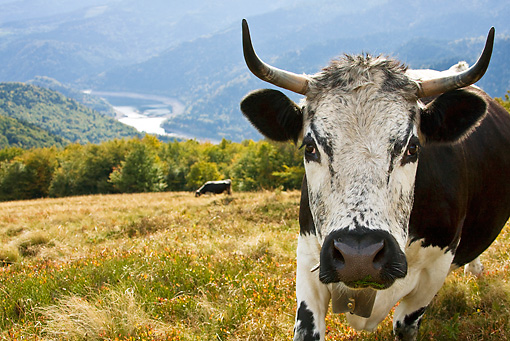 COW 02 KH0092 01 © Kimball Stock Close-Up Of Vosges Cow Standing In Meadow Wearing Bell