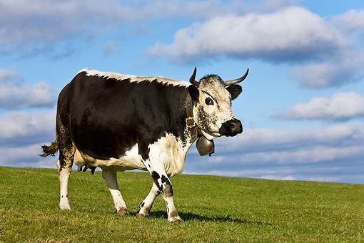 COW 02 KH0094 01 © Kimball Stock Vosges Cow Walking In Meadow Wearing Bell Profile