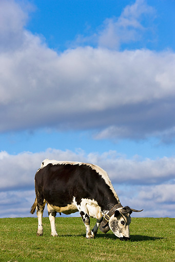 COW 02 KH0096 01 © Kimball Stock Vosges Cow Standing In Meadow Wearing Bell Profile