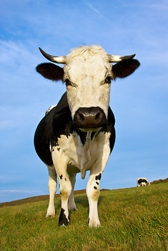 COW 02 KH0097 01 © Kimball Stock Vosges Cow Standing In Meadow