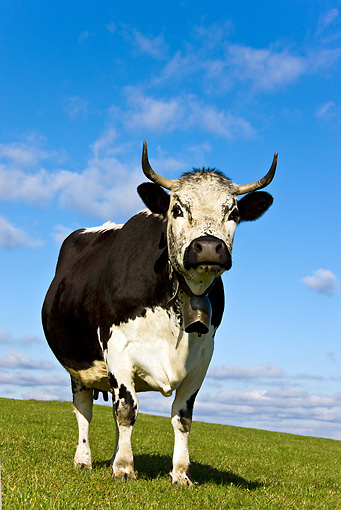 COW 02 KH0098 01 © Kimball Stock Vosges Cow Standing In Meadow Wearing Bell