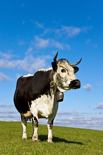 COW 02 KH0099 01 © Kimball Stock Vosges Cow Standing In Meadow Wearing Bell