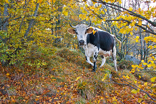 COW 02 KH0100 01 © Kimball Stock Vosges Cow Walking In Forest Wearing Bell